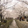 桜満開 哲学の道